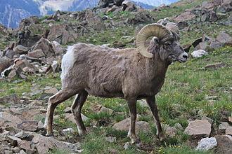 New_Mexico_Bighorn_Sheep